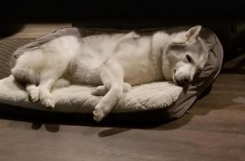 Zeus, the Stubborn Husky won't get out his bed. Hilarious Dog