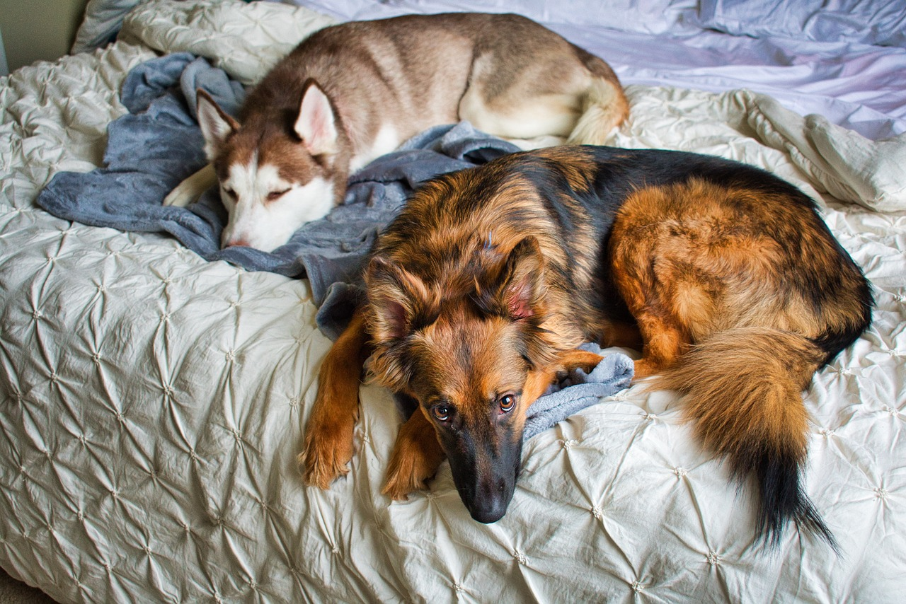 Dogs Sleeping on the Bed, husky, german shepherd