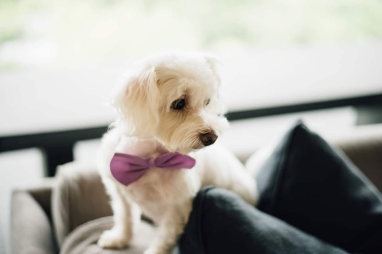 puppy, bow tie, cute