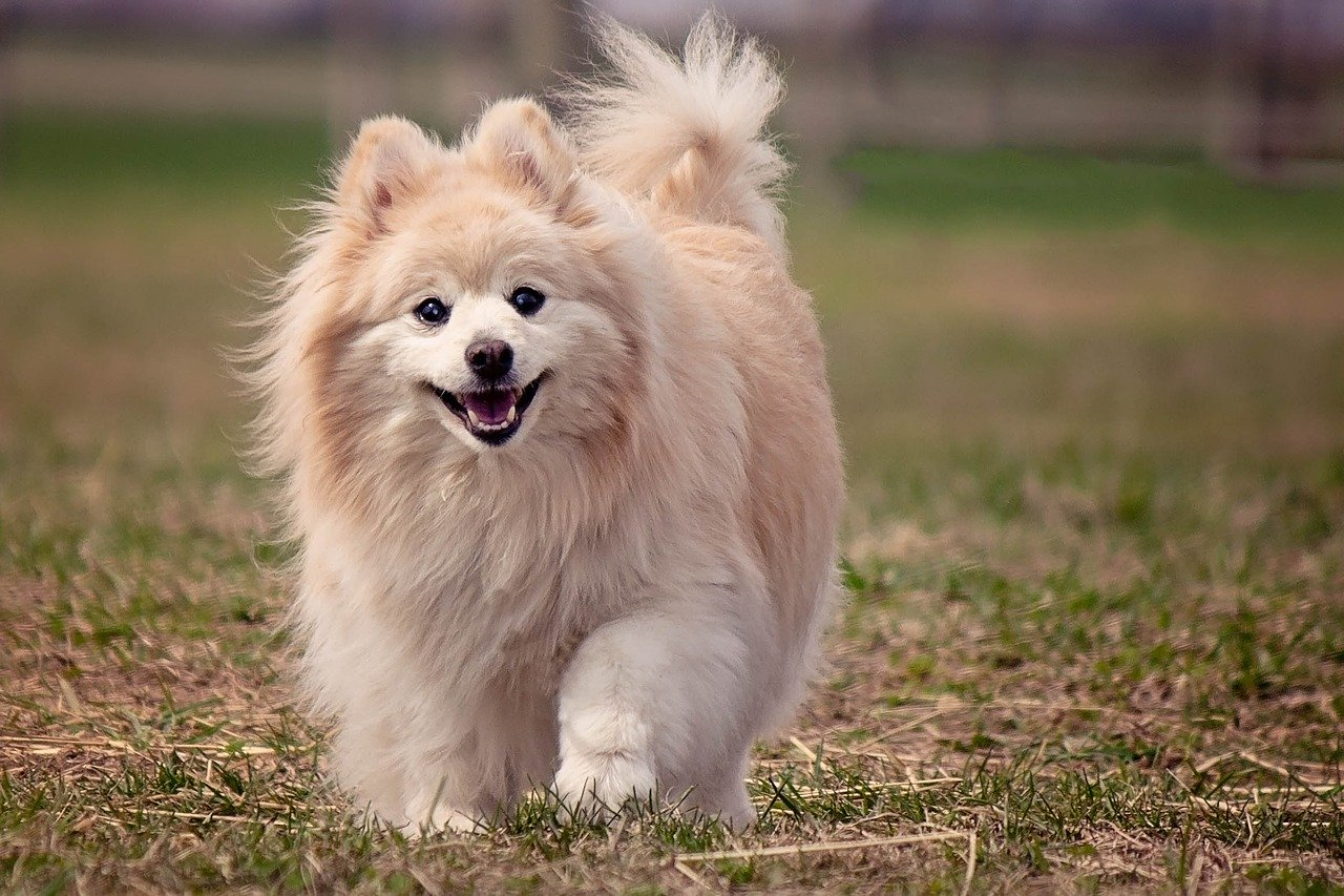 dog, pomeranian, cute